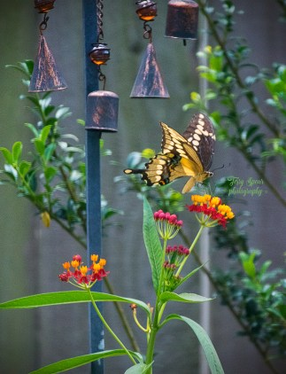 swallowtail butterfly 1177 209