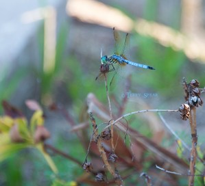 blue dragonfly closeup looking at me 900 040