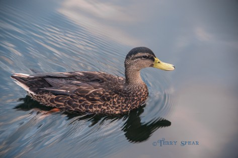 duck leaving a wake and clouds reflected in the water 900 Orlando Disney RWA 2017 3304