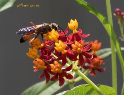 hornet milkweed 078