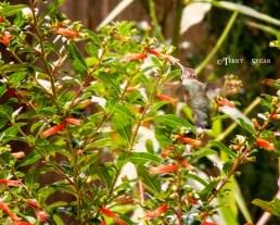 hummingbird in flight 900 085