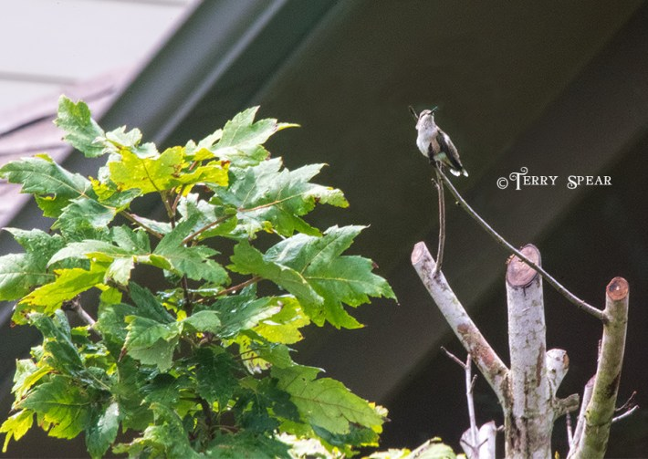 hummingbird resting on a tree branch in the rain 900 109