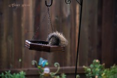 Hurricane Harvey storms wet squirrel on feeder 900 018