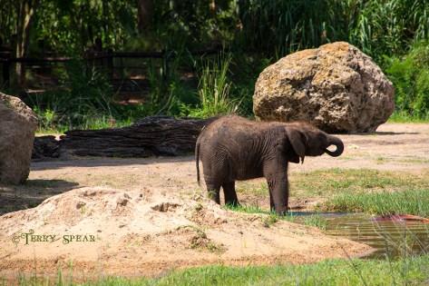Orlando Disney baby elephent Jungle River ride 900 RWA 2017 2807