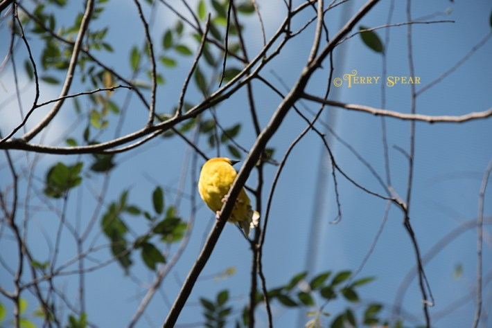 yellow nest weaver Orlando Disney RWA 2017 2924