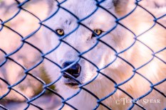 Arctic Wolf at fence 900 Thanksgiving Omaha 330