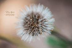 blanket flower seed ball 900 058