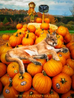 cougar on pumpkins fall grocery store flattened 900