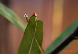 Ladybug 900 sitting atop a leaf DSC_3956