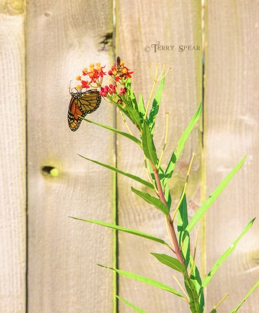Monarch Butterfly and Hornet on Milkweed 900 DSC_3116