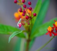 Monarch Butterfly caterpillar 900 DSC_4128