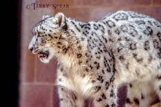 snow leopard on the move Thanksgiving Omaha 800 1000