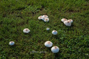 toadstools after Hurricane Harvey