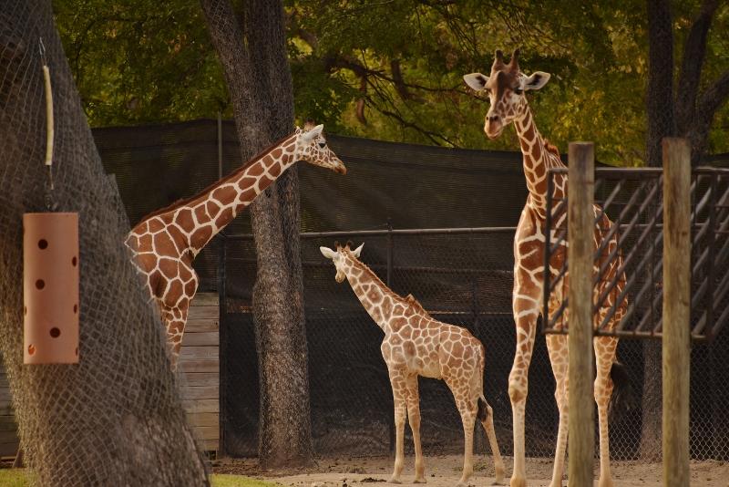 baby giraffe and momma DSC_8866 (800x534)