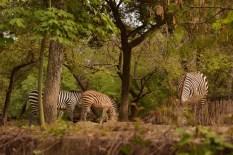 baby zebra DSC_8984 (800x534)