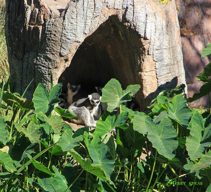 Lemurs 900 Cameron Park Zoo 024
