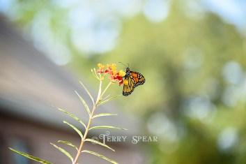 monarch butterfly 900 077