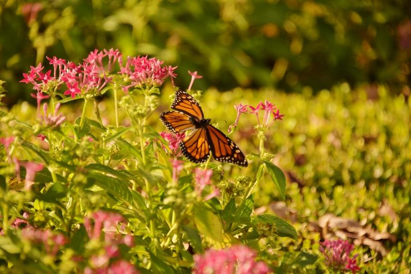monarch DSC_6098 (800x534) (2)