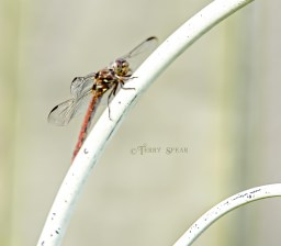 Red Dragonfly 1800 closeup 006