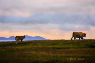 Scotland Sept 2015, Momma and Calf 900 7908
