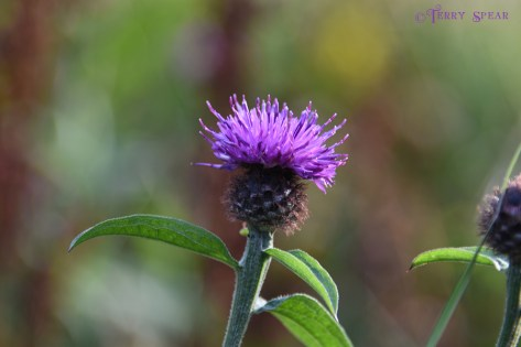 Scotland Sept 2015, Scottish Thistle 900 3152