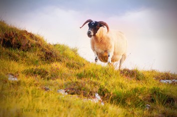 black face sheep on hill 900 Scotland Sept 2015,7624