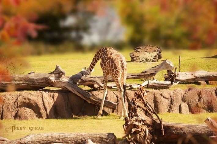 giraffe leaning over the log 900 1326