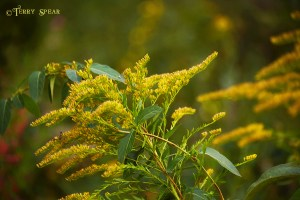 Goldenrod wetlands 900 667