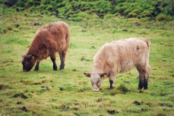 Highland calves 900 Scotland Sept 2015, 6950