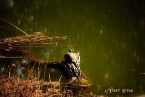 mossy turtle on a log wetlands