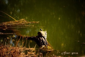 mossy turtle on a log wetlands