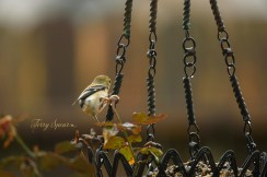 goldfinch in the rain 1000 007