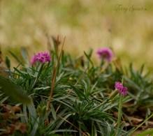 dianthus flowers 1000 074