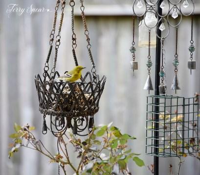 goldfinch 1st crop 1000 035