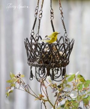 goldfinch 2nd crop 1000 035