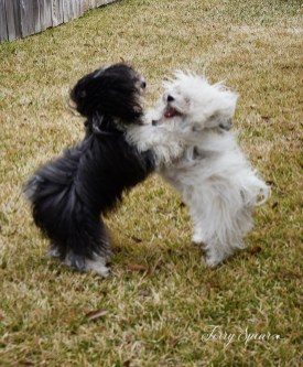 puppies playing, standing 1000 021