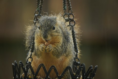 wet squirrel head on with food in his mouth and hands 1000 in rain 067