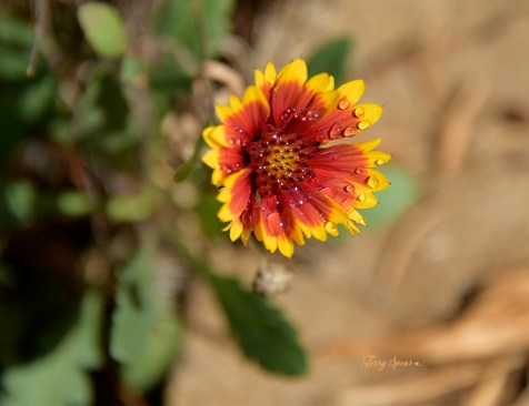 blanket flower covered with water droplets 1000 034