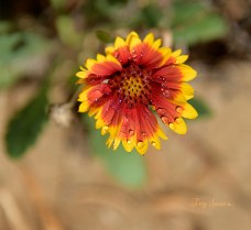 blanket flower with water droplets 1000 032