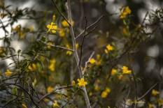 jasmine bud and flower 1000 023