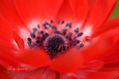 macro ranunculus flowers 1000 007