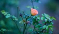 peach rose incandescent lighting 1000 067