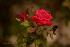 rosebud and red rose 1000 004