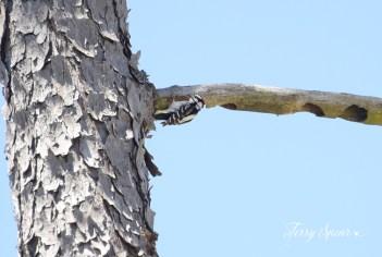 hairy woodpecker 1000 004