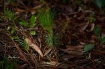 loblolly pine 1000 010