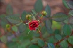 miniature rose 1000 029