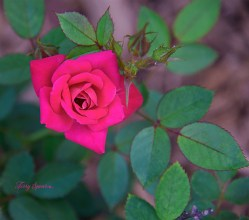 miniature roses 1000 035
