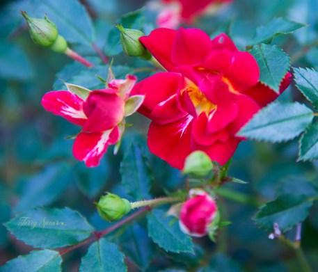 miniature roses 1000 046