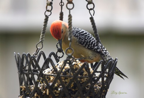 red bellied woodpecker 1000 045