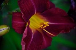 burgundy daylily 1000 005